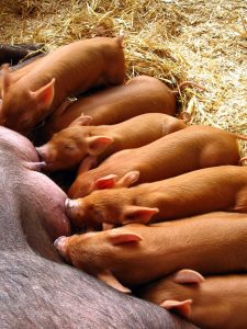 Piglets feeding from their mother.