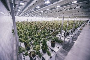 The growing floor showing marijuana plants in production in Smith's Falls