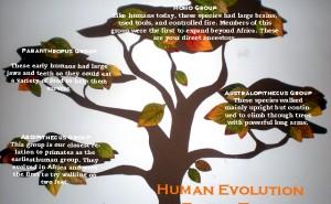 Family tree of human evolution